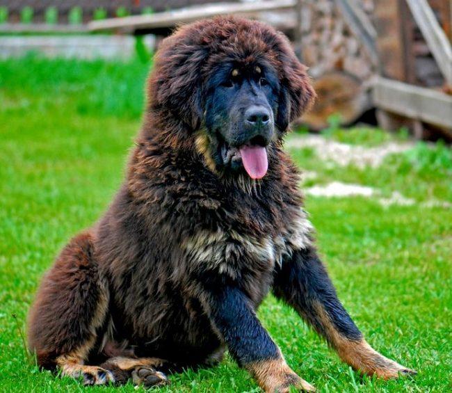 Самая дорогая порода собак в мире - тибетский мастиф. Тибетский мастифф Хонг Донг был продан китайскому угольному магнату за 1,5 миллиона долларов