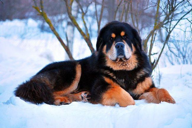 Самая дорогая порода собак в мире весит до 80 кг, её рост - 60-70 см, а продолжительность жизни – до 15 лет