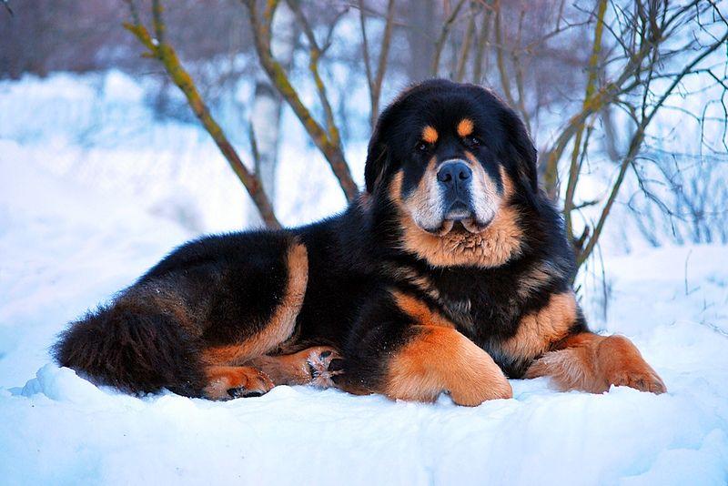 Самые дорогие породы собак с фотографиями и названиями