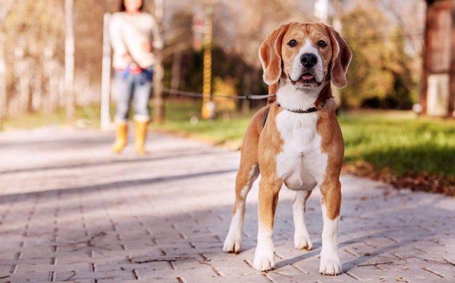 Дрессировка собаки в домашних условиях может начинаться с первых дней появления питомца у вас дома