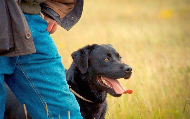 """Также собака должна понимать команды """"ко мне"""" и """"рядом"""""""