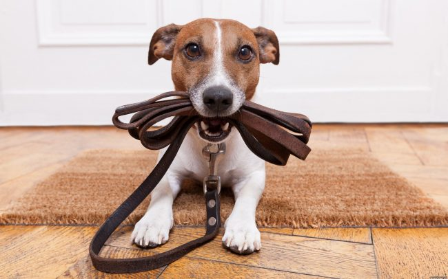 После того, как собака освоит базовые команды, можно переходить к более сложному. Например, научить питомца носить свой поводок