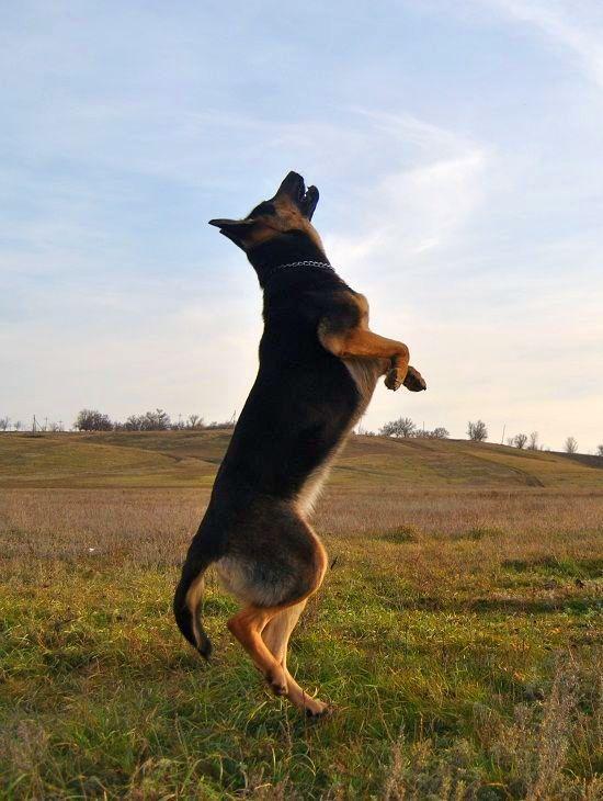 Дрессировка восточно-европейской овчарки проходит легко, если с детства приучать щенка выполнять команды хозяина