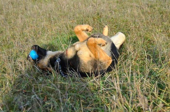 Несмотря на свой устрашающий внешний вид, восточно-европейская овчарка очень игрива, хорошо относится к детям и любит маленькие шалости