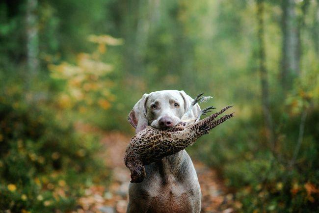 Веймаранер - прекрасный помощник в охоте на дичь