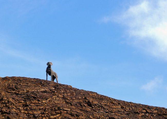 Веймаранера также часто используют как служебного пса. Благодаря своему интеллекту эти собаки способны служить спасателями, нести службу в правоохранительных органах, например, работать по наркотикам