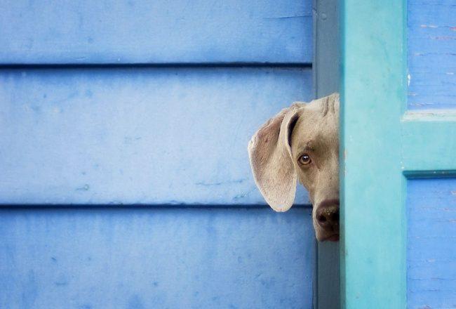 Вейманер - это дружелюбный и игривый пес, который с большим удовольствием поиграет с хозяином в прятки, догонки и прочие активности