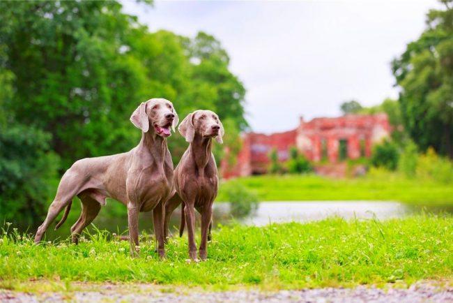 Поскольку веймаранер создавался для охоты, эти псы подвижны и легко обучаемы. Этому помогают отличная память, умение принимать самостоятельные решения