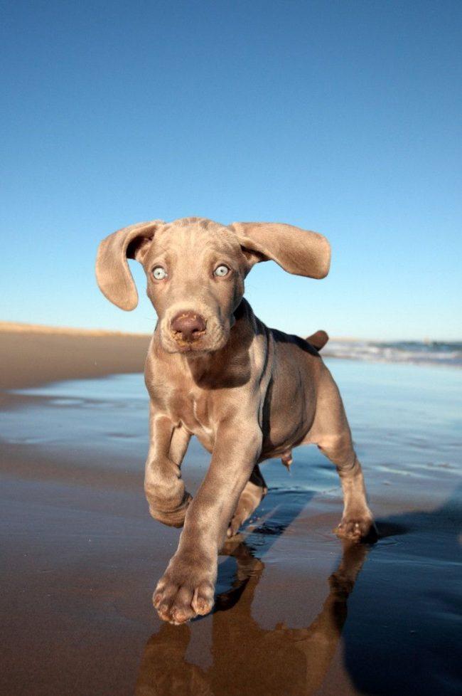 Хорошие щенки веймаранера - активные, не худые и не раскормленные, у них чистые глазки, нет залысин на шерстке и болячек на коже