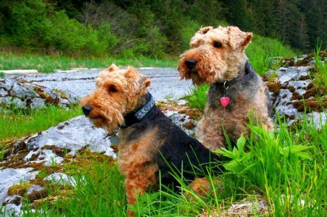 Характеру собаки присущи инициативность и независимость, но вместе с этим вельш-терьеру важно внимание и одобрение хозяина