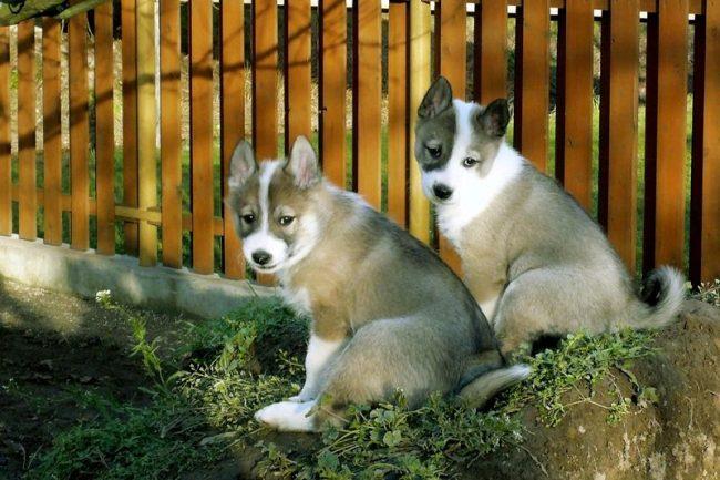 Маленькие медвежата - щенки западносибирской лайки