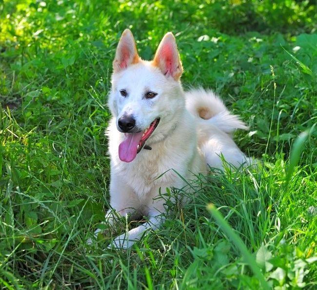 Лайка - собака достаточно уравновешенная и добрая, особенно к детям. Агрессию может проявить, только если долгое время провоцировать ее