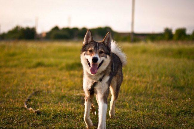 Западносибирская лайка - гордая и независимая, но в то же время дружелюбная собака
