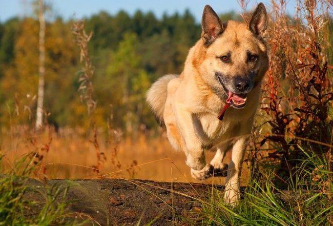 Выбрав породу западносибирская лайка, люди должны быть готовы, что нужно заниматься с этой собакой, учить командам, использовать по назначению – выезжать с ней на охоту. Только, выполняя все это, в западносибирской лайке не будет накапливаться много лишней энергии