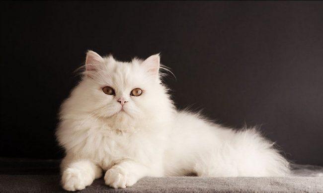 Белая кошка несомненно украсит любой дом и подарит хозяевам радость и счастье