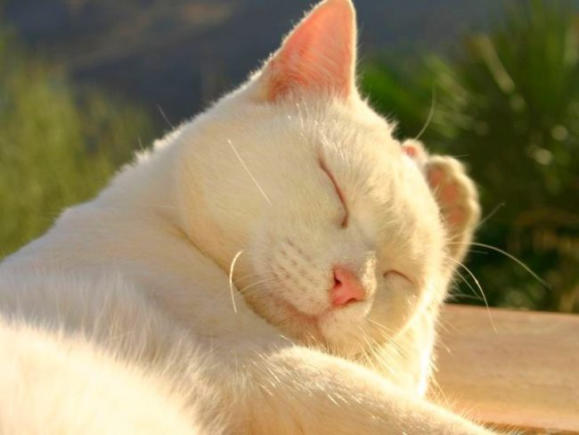 За шикарной шубкой белой кошки нужен тщательный уход