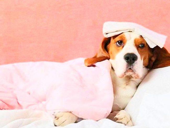 Также причинами поноса у собаки могут быть бактериальные заболевания, аллергическая реакция и авитаминоз