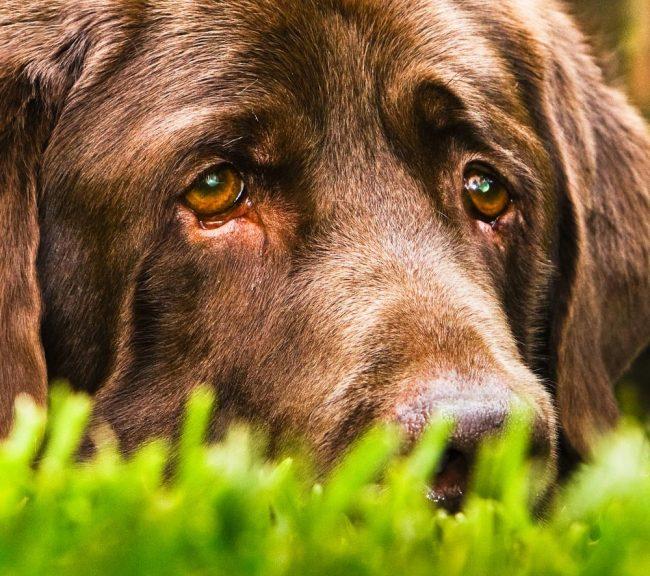 Если вы заметили у собаки понос, можно дать ей активированный уголь, а также напоить ее настойками из трав (шалфей, зверобой, кровохлебка, корочки граната, плоды черники, змеевик). Однако лучше всего сразу обратиться к ветеринару