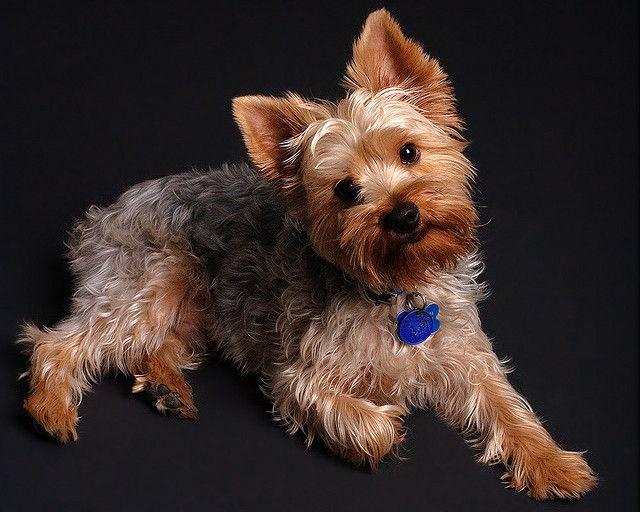 Сегодня собака йоркширский терьер - это излюбленная порода, которую выбирают в качестве домашнего любимца