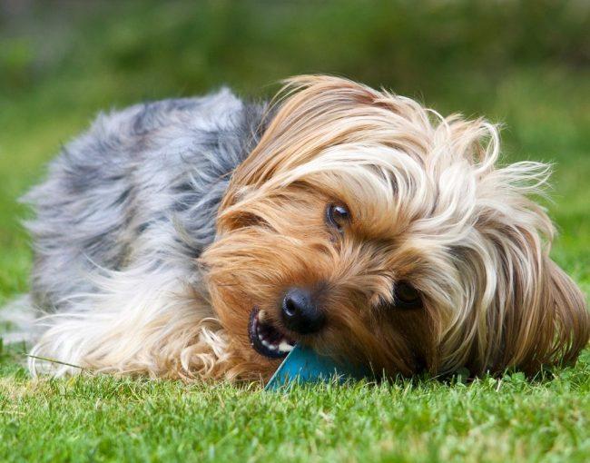 Собака йоркширский терьер требует тщательного ухода. Например, после каждого приема пищи ей необходимо зубочисткой выковыривая остатки еды. Некоторым йоркам приходятся по нраву зубные щетки. Ими и зубными пастами стоит пользоваться пару раз в неделю