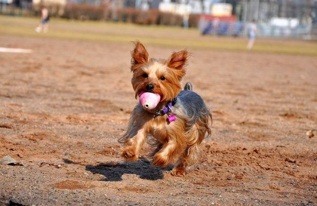 Собака йоркширский терьер - подвижная и игривая, с удовольствием играет вместе с детьми. Однако и деток стоит научить обращаться с собакой, чтобы они друг друга не обижали