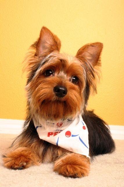 Собака йоркширский терьер - очень преданный и забавный пес, женщины часто предпочитают именно эту породу из-за возможности украшать, делать прически и наряжать. И, стоит отметить, собачки и не возражают