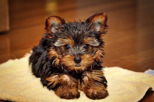 Собака йоркширский терьер очень общительная. И зачастую эта черта характера связана с избалованностью – ее все любят, все внимание достается ей. И потому она шалит, капризничает и даже обижается
