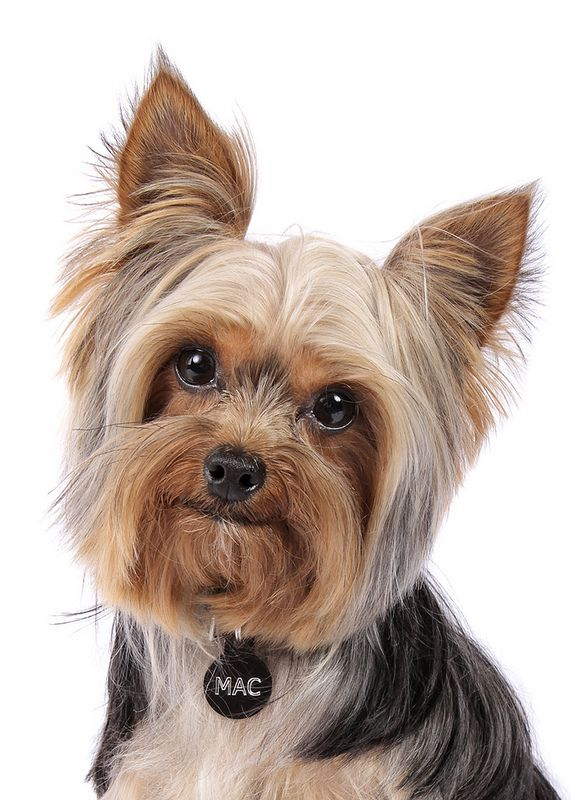 Нежная эта порода – собака йоркширский терьер, уход за ней нужен постоянный. Купать следует еженедельно с шампунем и кондиционером, высушивать феном. Расчесывать каждый день, используя бальзамы, спреи, лосьоны