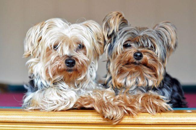 Не удивляйтесь, но йоркширский терьер - это охотничья собака. Изначально это породу вывели для борьбы с мелкими грызунами