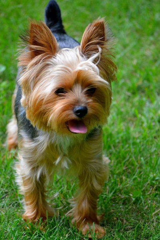 Йоркширский терьер - это собака, которая чаще всего появляется на светских раутах