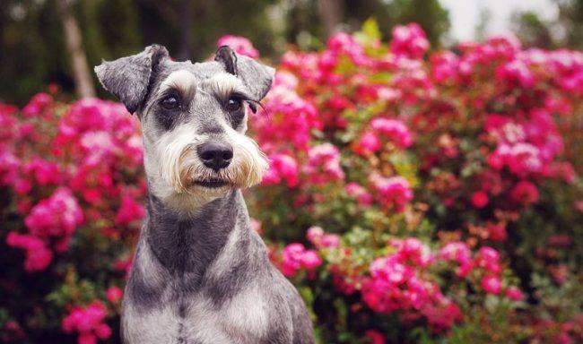 Цвергшнауцера можно назвать большим псом, заключенным в маленьком теле. Собака цвергшнауцер настороженно относится ко всему, что его окружает, и имеет огромное желание защищать и хозяина