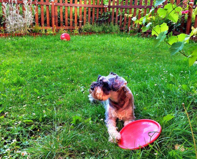 Цвергшнауцер очень любит прогулки на свежем воздухе и активные игры. Он с удовольствием составит вам компанию в игре во фрисби и погоняет мяч