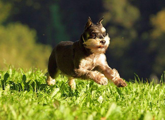 Собаки цвергшнауцер чрезвычайно активны, любят энергичные упражнения и нагрузки, веселые и шумные игры, принимают крайне активное участие в разного рода семейных мероприятиях.