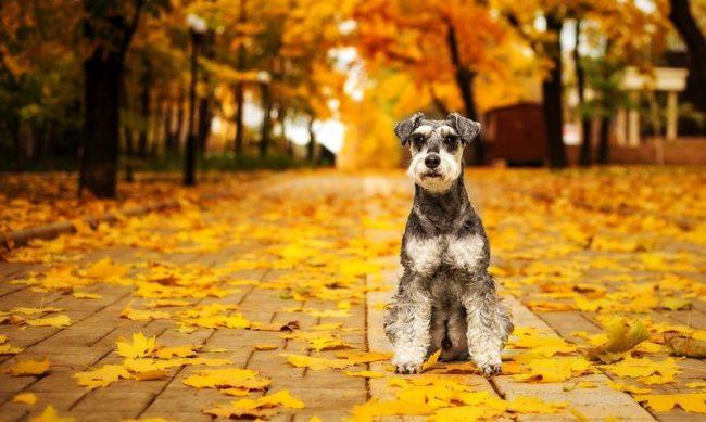 Цвергшнауцер - прекрасный добрый, верный и смелый пес, который сможет украсить ваши будни