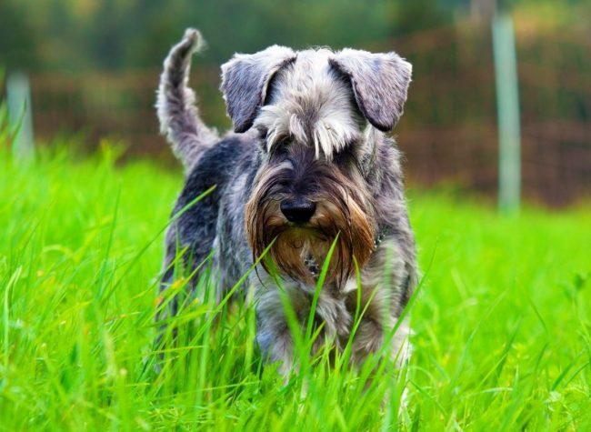 Цвергшнауцер – очень здоровая порода собак. Но иногда они могут страдать из-за травм, полученных в связи со своей активностью, насекомых и глистов