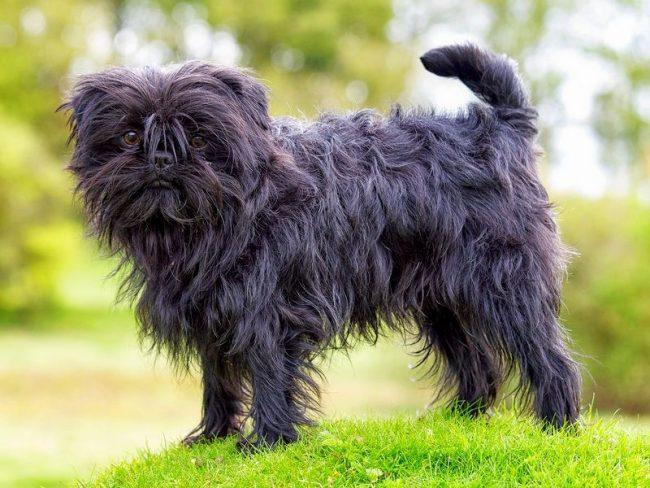 Щенки аффенпинчеров обойдутся любителям небольших собак в максимум 4 тыс. дол.