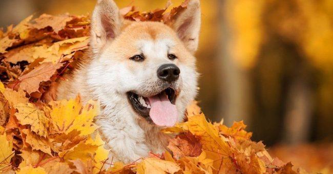 Акита ину - подвижный пес. Ему нужно много гулять, и прогулки должны содержать физические нагрузки