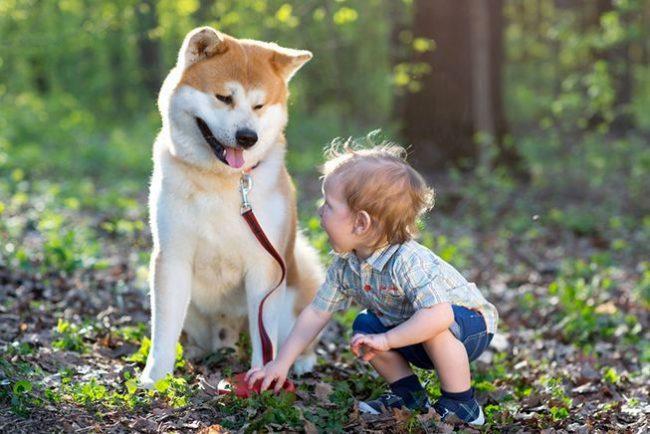 Порода собак японский акита легкая в дрессировке, мужественная, прекрасно плавает, является великолепным сторожем и верным другом. Только поглядите, с какой добротой она смотрит на ребенка!