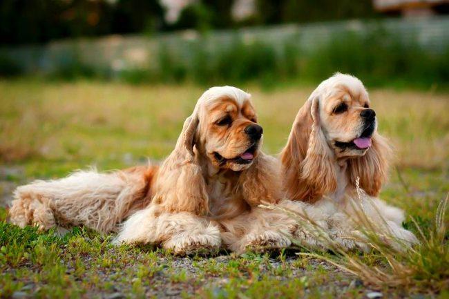 Элегантная внешность скрывает за собой покладистый характер собаки