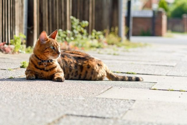 Бенгальская кошка выглядит как хищница, место которой среди дикой природы, но на самом деле эта кошечка домашняя, ласковая и преданная