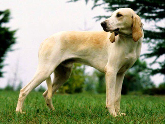 Собаки Бийи не знают усталости, горды и смелы. Лучшие охотники на оленей и косуль