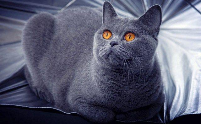 """Список """"Самая дорогая порода кошек"""" открывает Британская короткошерстная, которая очень популярна среди любителей кошачьих"""