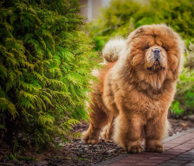 Собака чистоплотна, добра, мало лает и прекрасно охраняет хозяина