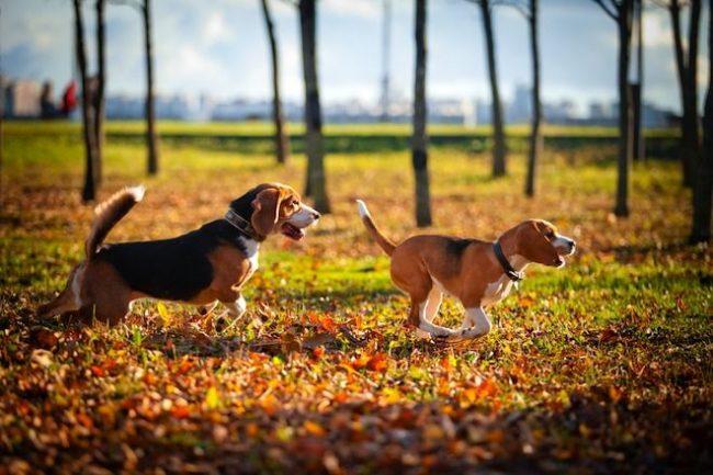 Гончая собака – особенная. Ее обожают дети и ценят взрослые за те качества, которые обусловила порода
