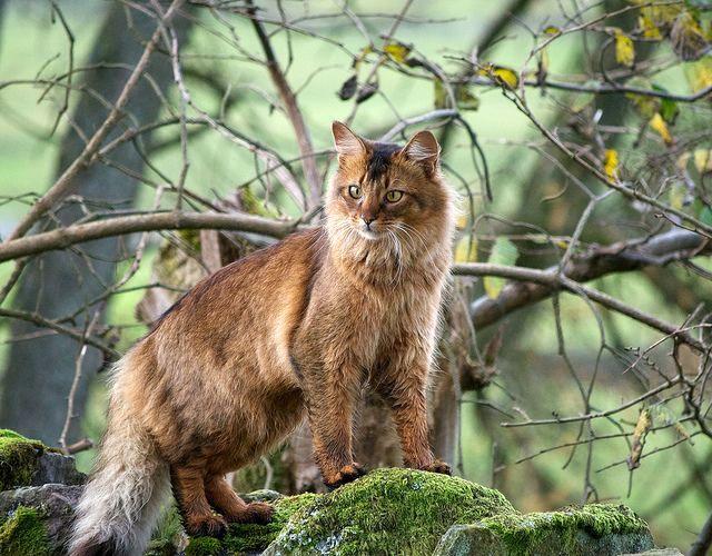 Если сомалийская кошка живёт в квартире, ей требуются регулярные прогулки. При отсутствии возможности выпускать животное на улицу, хорошо огражденный балкон тоже подойдет