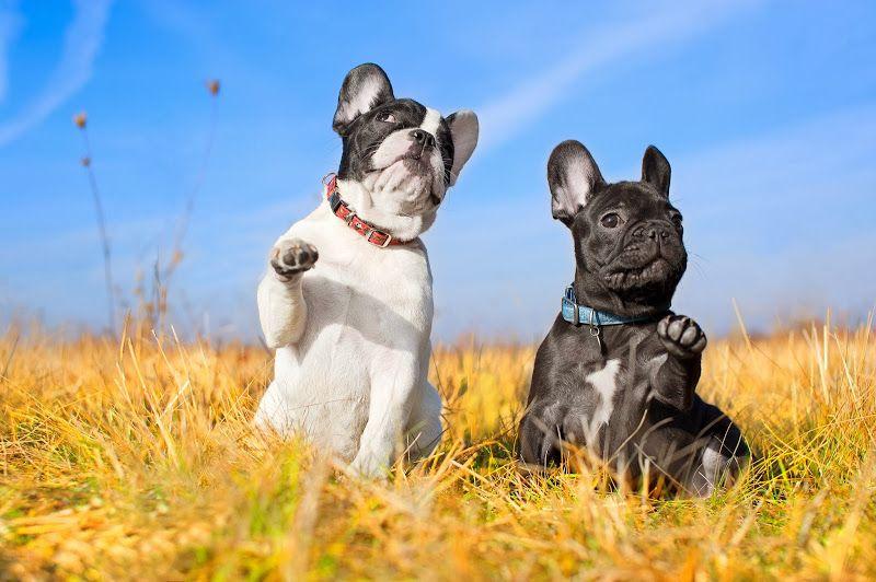 фото пса бульдога