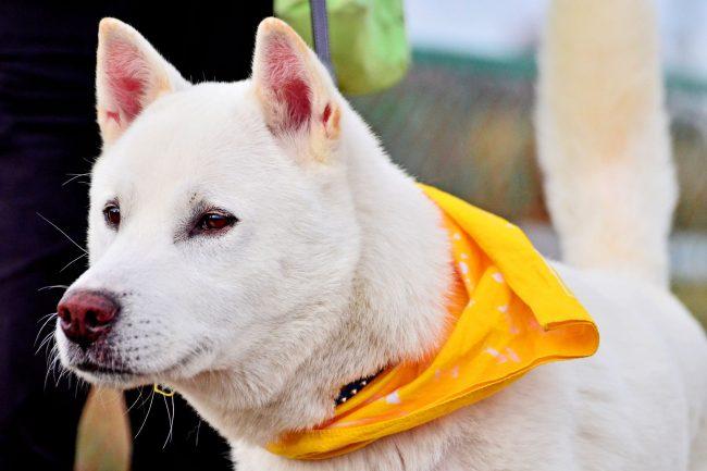 Кисю - отличный здоровый пес. Подойдет тем, кто мечтает о собаке, но не переносит запаха шерсти
