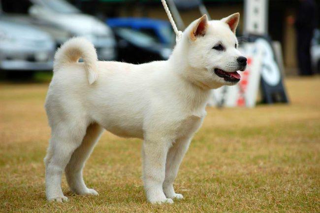 Охотничья собака кисю умная, дружелюбная и молчаливая, покоряет хозяев и окружающих задумчивым взглядом. Она хороший сторож и преданный друг