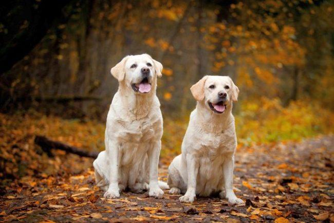 Лабрадор - сильная, умная и послушная собака. К этим качествам добавляется и внешняя красота