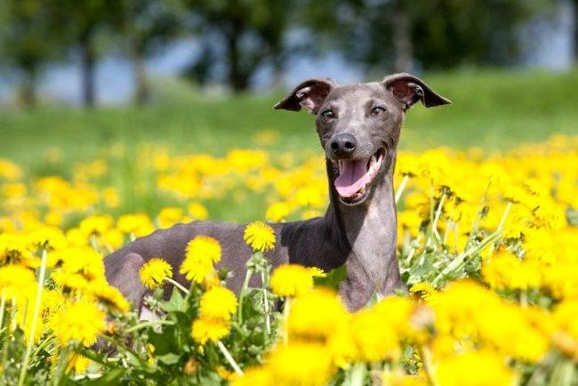 Изящную итальянскую левретку используют в качестве гончей собаки
